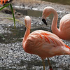 Greater Flamingos at Wild Animal Park - 11 Apr 2010