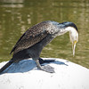 White-necked Cormorant at Safari Park - 26 May 2010