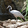 Demoiselle Crane at Wild Animal Park - 11 Apr 2010