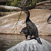 Cormorants at Safari Park - 26 May 2010