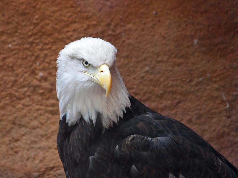 Bald Eagle at Santa Ana Zoo - 10 Jan 2010