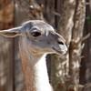 Llama at Santa Ana Zoo - 10 Jan 2010