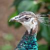 Peahen at Santa Ana Zoo - 10 Jan 2010