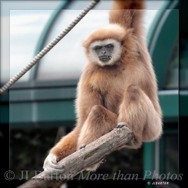Boring, isn't it? White Handed Gibbon
