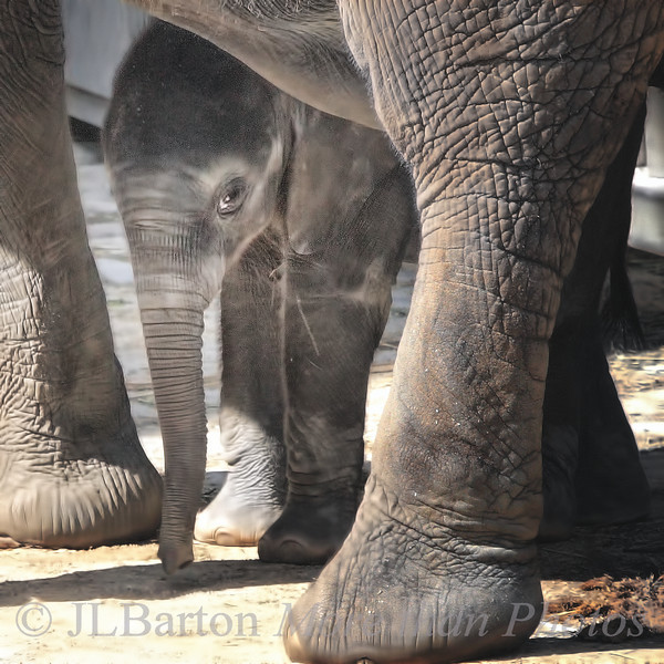 I'm Tuluba, I'm still shy The newest African Elephant, born August 6th, 2010 - so exactly one month old in this photo.