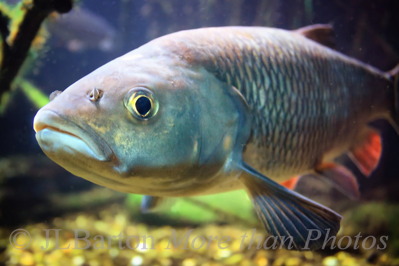 European Chub - part of the carp family.  As seen at Vienna's aquarium.