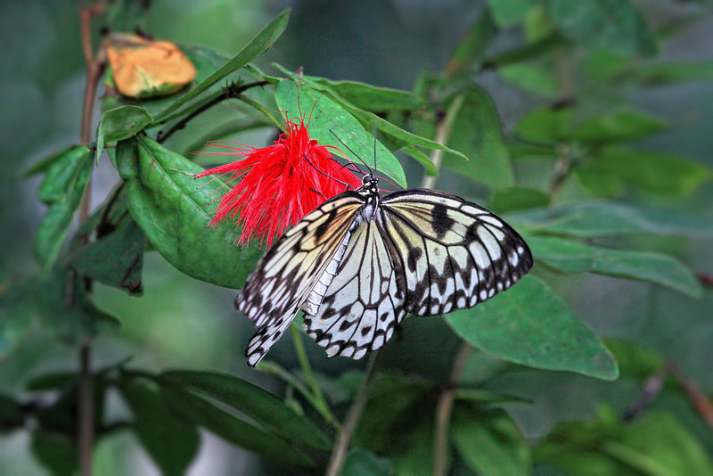 A Paper Kite butterfly at the Chester Zoo