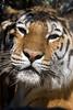 Tiger5164