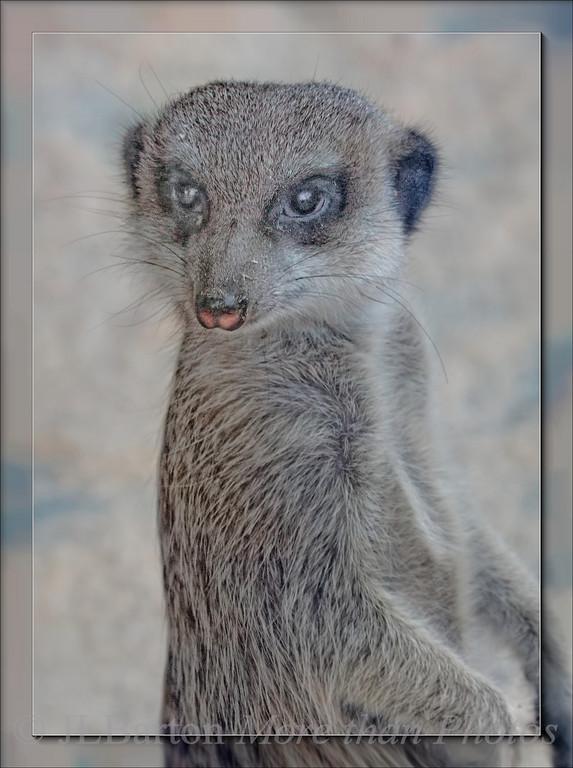 Am I cute or what? Suricate (narrow tailed meerkat) Native to the Kalahari Desert (South Africa. Botswana)