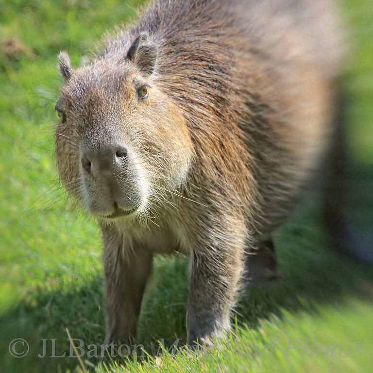 """Someone said """"food""""?? contrary to popular belief, the capybara can stand up and move - especially when fresh food is distributed at the zoo."""