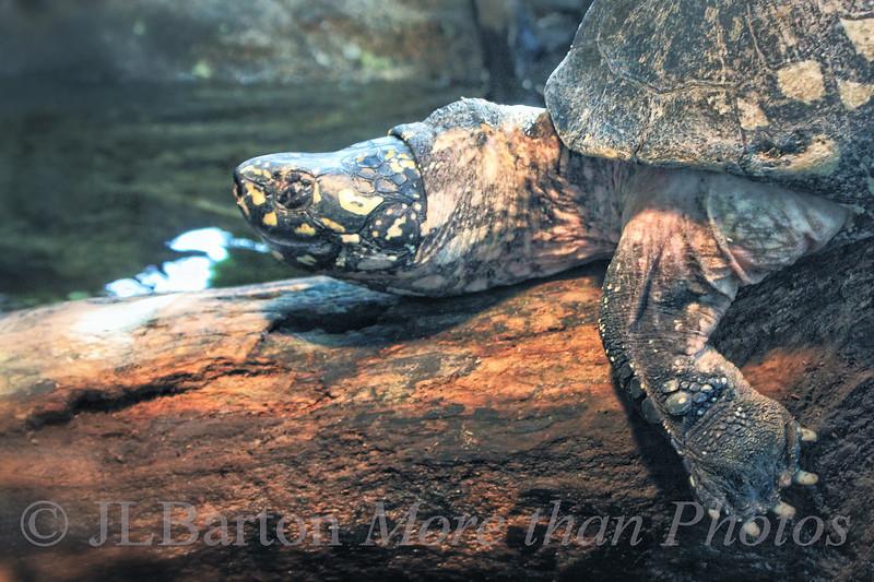 Black Pond Turtle