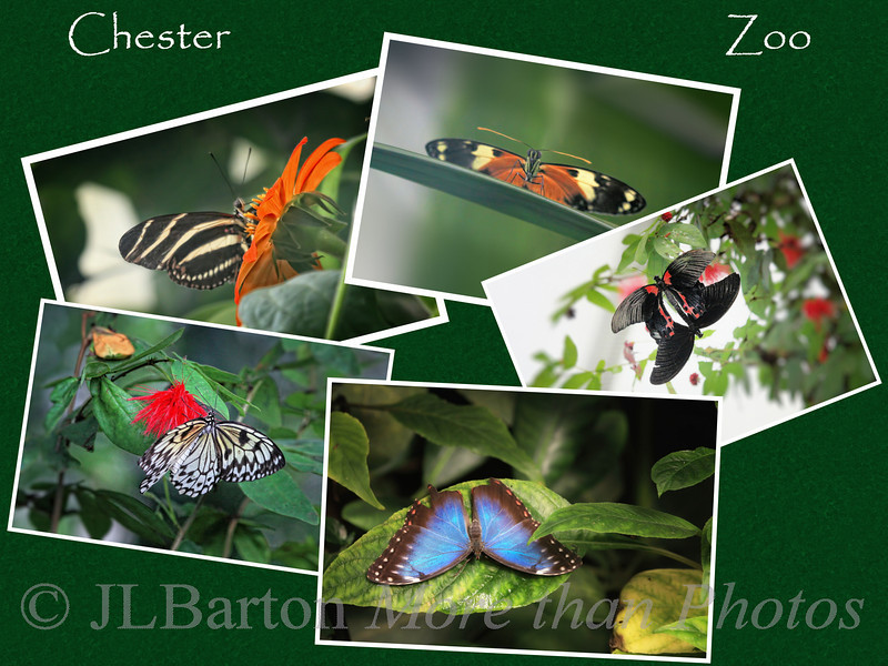 Butterflies 2010-11-11  Well I did get a few butterfly shots from the many I took in the butterfly house at the Chester Zoo in England, so I decided to present them as a collage.  The full-sized pictures are in my Europe Gallery: http://www.jerrybarton.eu/Landscapes/Other-Europe/8070611_LvnXc#1086425200_Jq6zX  Many thanks for the comments on yesterday's butterfly shot (which is part of this collage of course).