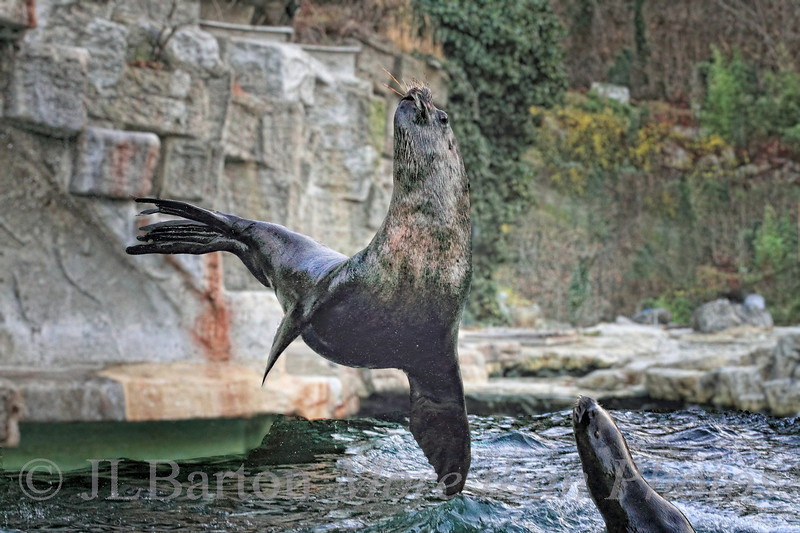 Pirouette de Pinniped