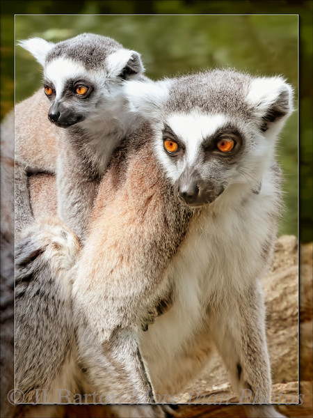 Tired Baby Ring-tailed Lemur Catta, mother with child
