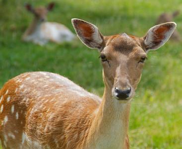 Red Deer, Scandinavia Wildlife Park, Denmark