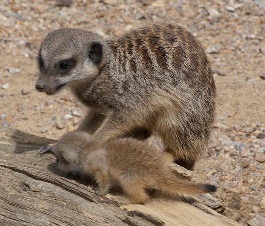 Meercats, Jersey Zoo
