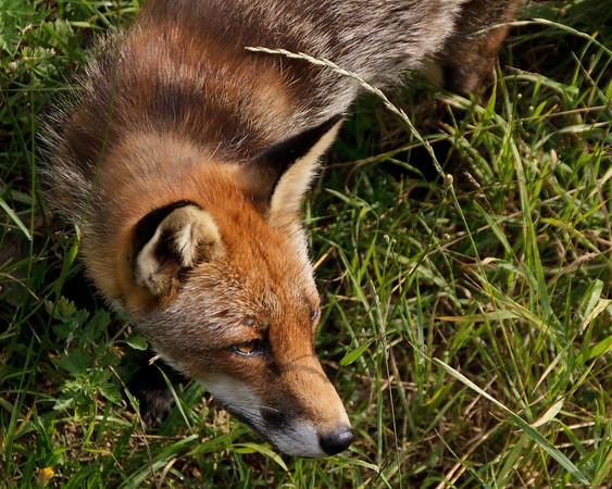 Red Fox, Scandinavia Wildlife Park, Denmark