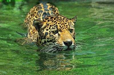 Jaguar, ZooMiami