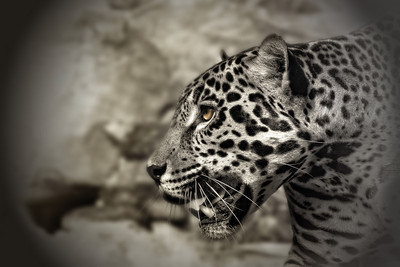 Jaguar in B&W