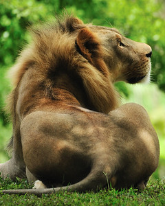 African Lion.  3 yr old male