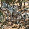 Zebras at rest