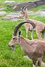 Bronx Zoo: Nubian Ibex, 5/28/2010