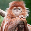 Bronx Zoo: Ebony Langur, 5/28/2010
