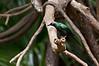 Bronx Zoo: Metallic Starling, 5/28/2010