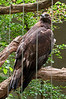 Bronx Zoo: Golden Eagle, 5/28/2010