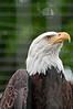 Bronx Zoo: Bald Eagle, 5/28/2010