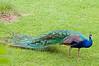 Bronx Zoo: Peacock, 5/28/2010