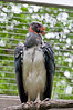 Bronx Zoo: King Vulture, 5/28/2010