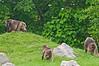 Bronx Zoo: Gelada Baboons, 5/28/2010