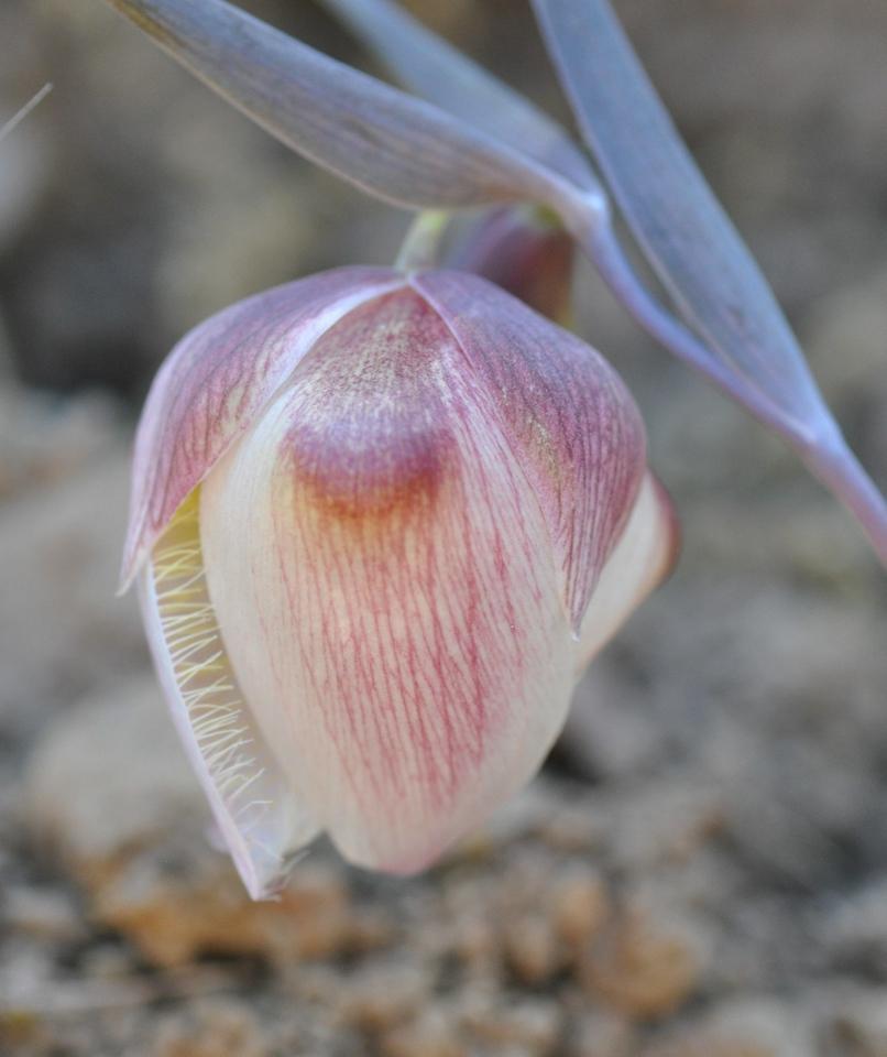 white globe lily_calochortus albus_DSC_8183