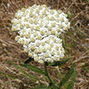 white yarrow_P1100241
