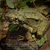 Sungei tawan Toad (Phrynoidis juxataspera) - California Academy of Sciences