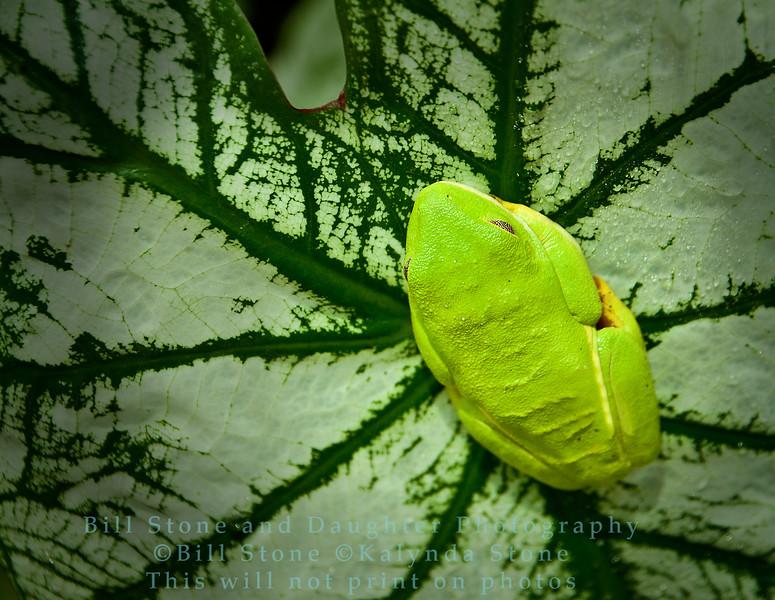 Tropical Treefrog on leaf