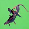 California Newts mating in unused swimming pool-Lafayette California