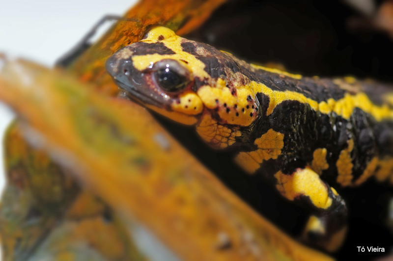 salamandra-de-fogo, salamandra-comum ou salamandra-de-pintas-amarelas (Salamandra salamandra)