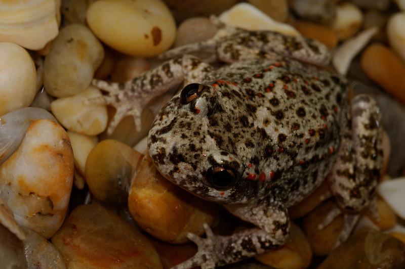 Sapo-parteiro-ibérico (Alytes cisternasii)
