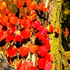 Red leaves in the sunlight!