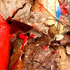 Another paint job..  ,,, a fire hydrant with spatters on the leaves. October 27 or 28. My camera had been recording the wrong time and date. My fault.