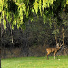 I know my deer is out of focus,but the tree is beautiful! Too excited over seeing this fellow on the edge of my park.