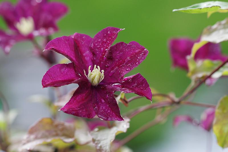 Clamatis Etoile violet