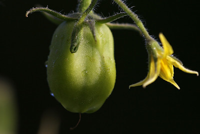 Tomato at an early stage