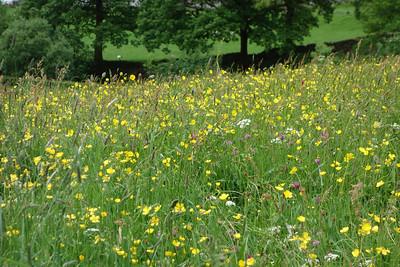 June flowers in Longsleddale