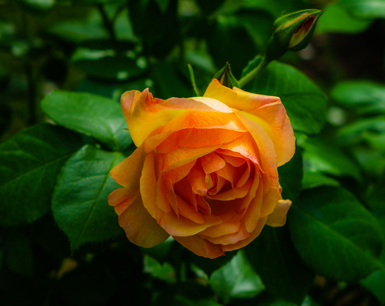 "Rose – Beatrice d""Este"