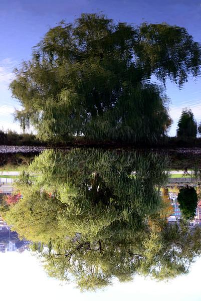 Lake Union Willow