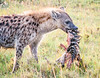 In the Masai Mara, this brown jackal (Canidae canis) steps away from a zebra kill with its portion of the meal.