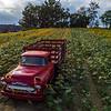 Old Truck in Sunflower Field 9/2/18